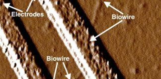 Electrical Nanowires from Common Soil Bacteria