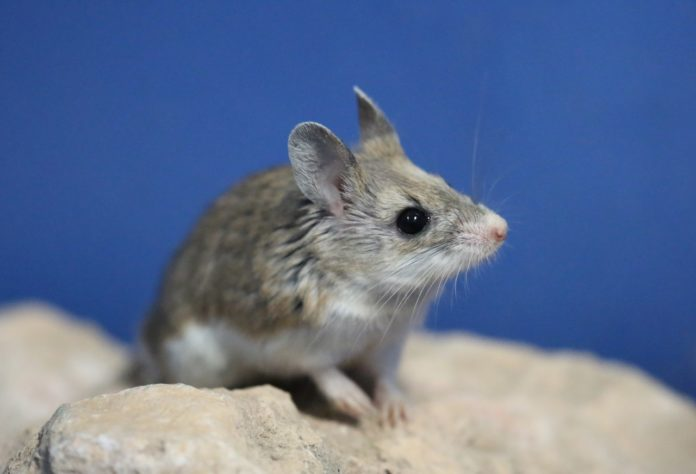 Researchers Discover Mice Produce Sound Like Humans