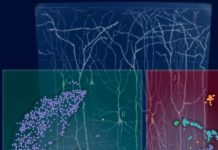 Scientists Discovered New Kind of Brain Cells