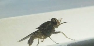 Surprising Discovery: How the African Tsetse Fly Really Drinks your Blood