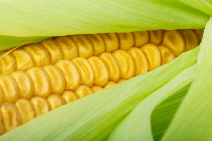 Vitamin E Discovery in Maize could Lead to More Nutritious Crop