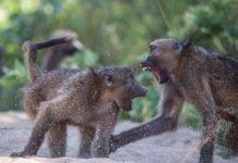 An aggressive interaction between baboons
