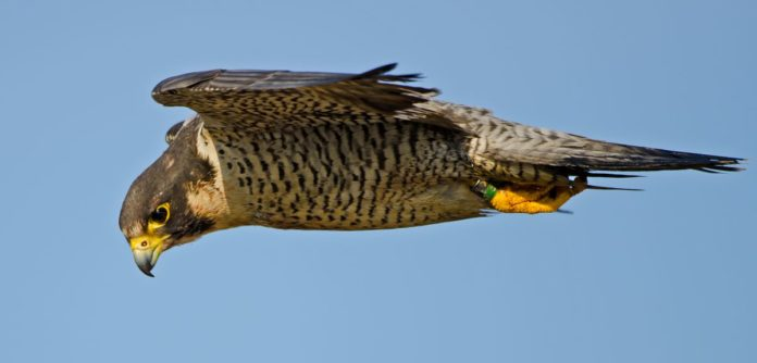 Understanding Peregrine Attack Strategies could Help Down Rogue Drones