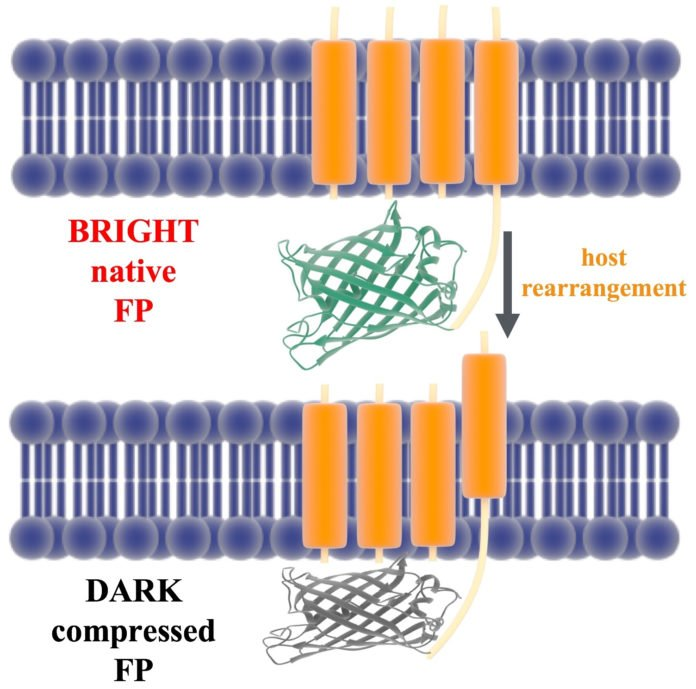 Scientists develop method to test fluorescent biosensors before they're synthesized