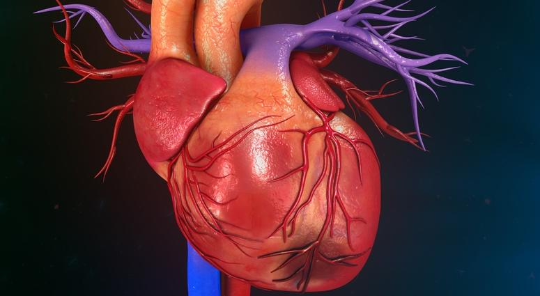 The secret to building a strong heart lies in blood vessels ...