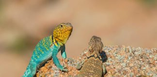 The study suggests male and female Liolaemus foxi occupy distinct niches and compete for different resources with different species of lizard.