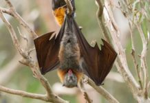 Model predicts how hairy tongues help bats drink up