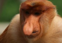 free-ranging proboscis monkey