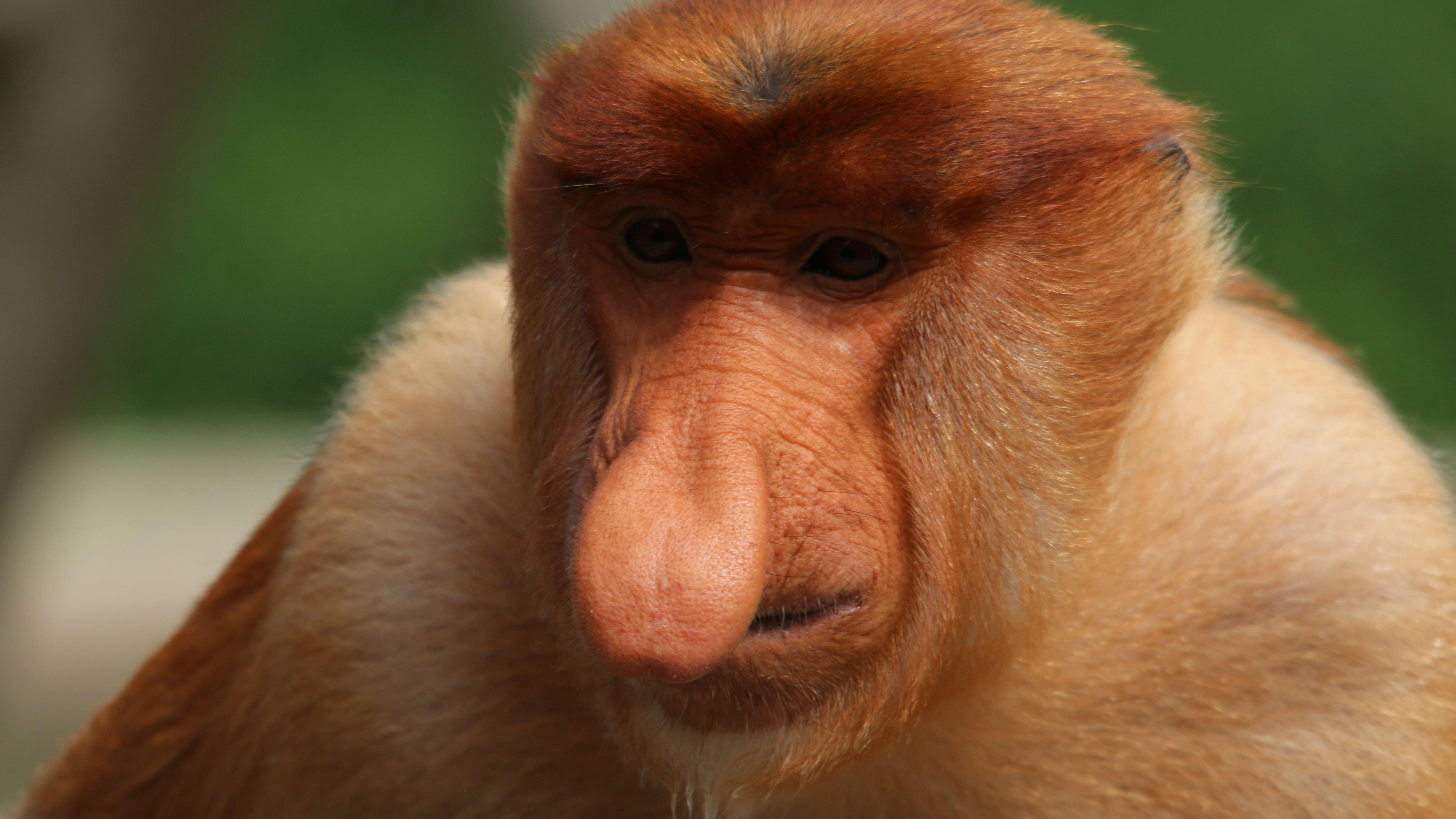 Proboscis-monkey1.jpg