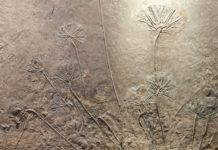 Sea Lilly fossil