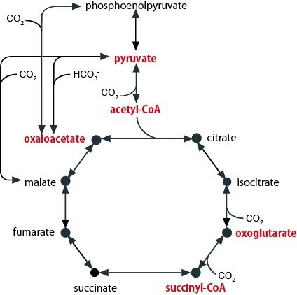 The relationship between the TCA cycle and pyruvate, acetyl-CoA, oxaloacetate, oxoglutarate, and succinyl-CoA is shown.