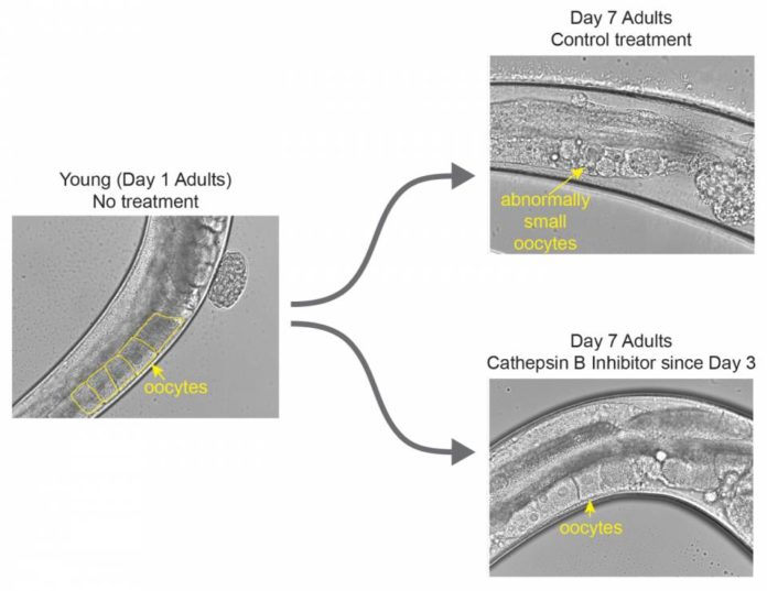 the image at the left shows a worm at the beginning of its reproductive window (day 1 of adulthood) with healthy, squarish unfertilized eggs. Worms who did not receive the treatment (upper right) have abnormally small, misshapen eggs by day 7 of adulthood. Worms who did receive the inhibitor (lower right) still have healthy, squarish eggs on day 7