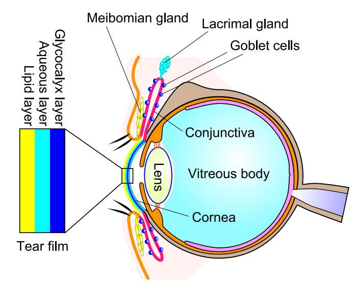 The anatomy of the eye and schematic diagram of tear film composed of 3 layers (glycocalyx layer, aqueous layer, and lipid layer). Most of the proteins (mainly mucin) in the glycocalyx layer are secreted from goblet cells. The components of the aqueous layer are secreted from lacrimal glands. Meibum lipids are secreted from meibomian glands and form the TFLL.