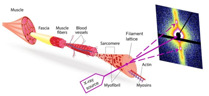 muscle fibers using small-angle scattering on PETRA III