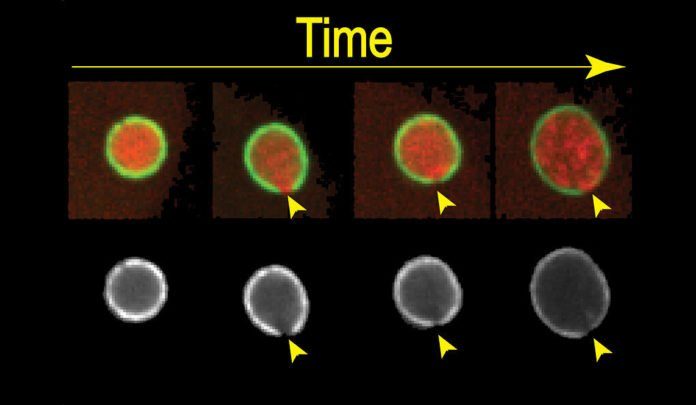 Scientists now discovered, how the cell repairs rips in DNA's protective membrane
