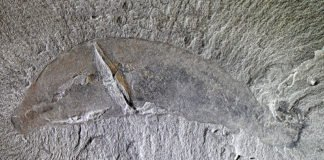 Ottoia, a burrowing priapulid worm from the Cambrian Burgess Shale in British Columbia (508 million years old) is about 8 cm long