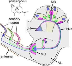 Spatial information detected by olfactory sensory neurons (OSNs) on an antenna is carried to the mushroom body (MB) in the brain via macroglomerulus (MG).