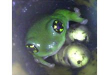 An NUS-led study has found that the father white-spotted bush frogs guard their fertilised eggs to prevent other cannibalistic male frogs and predators from consuming their offspring by attending to and guarding or damaging the eggs