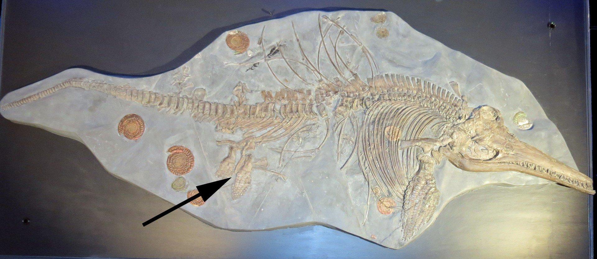 Ichthyosaur skeleton Niedersächsisches Landesmuseum Lower Saxony State Museum Germany (2)