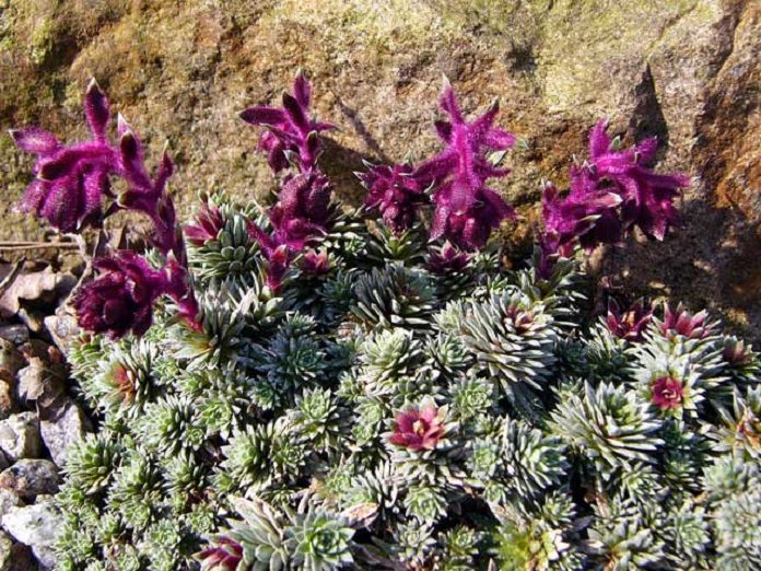 Saxifraga sempervivum, an alpine plant species discovered to produce