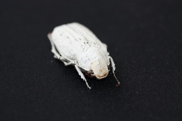 This is a Cyphochilus beetle.