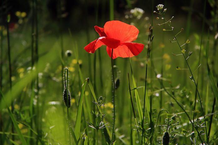 Poppy Flower Nature Fields Wild Flower