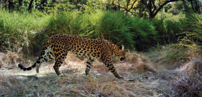 An Indochinese leopard in Cambodia. Image credit: Panthera / WildCRU / WWF Cambodia / FA