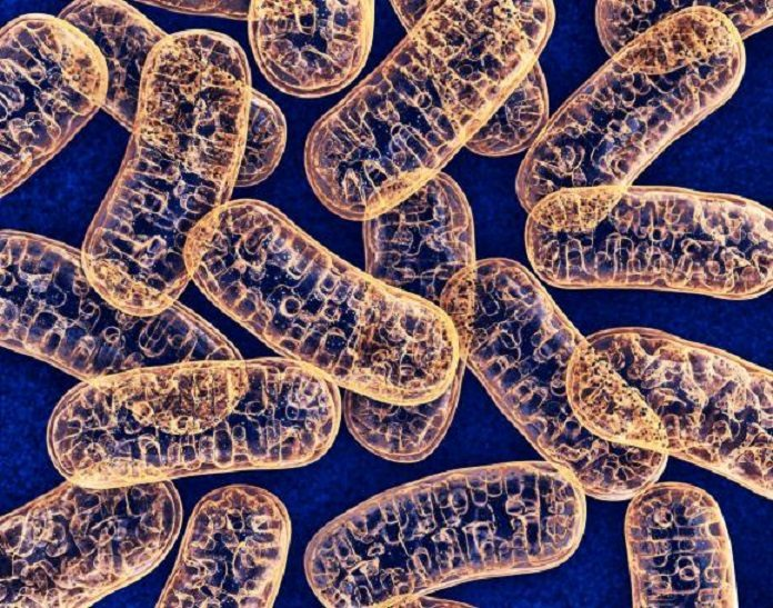 The normal mitochondria, pictured, are found in the cytoplasm of most cells and contain enzymes responsible for energy production. Children born to mothers with mutation-bearing mitochondria can lead to grave, incurable diseases.