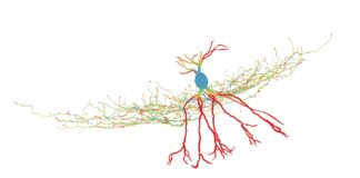 A GABAergic interneuron studied by the researchers. Color code indicates energy efficiency of the neuron. Credit: Peter Jonas