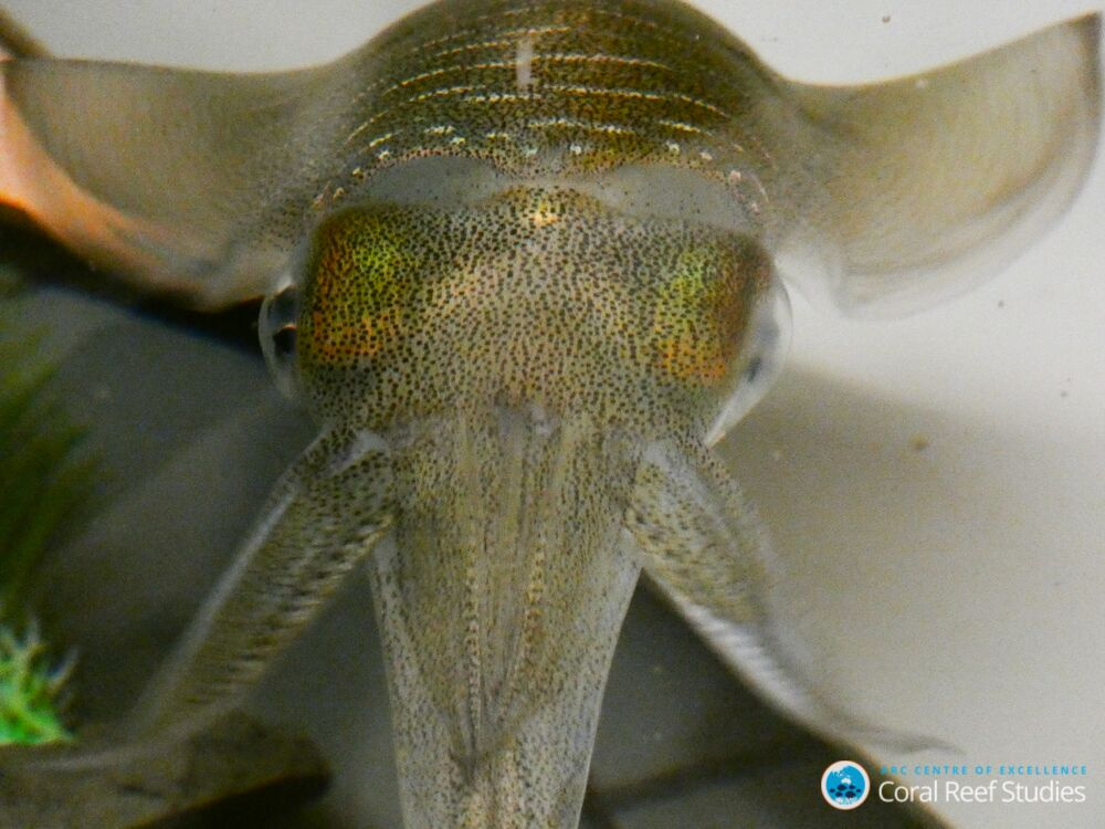 Adult bigfin reef squid, Sepioteuthis lessoniana. Image: Blake Spady