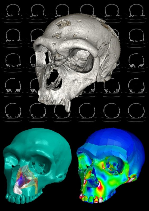 Modelling of a reconstructed Neanderthal skull that allowed analysis of breathing and biting capability. Image credit: W.Parr, J. Ledogar, J. Bourke.
