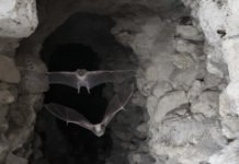 Two vampire bats take flight Image: Sherri and Brock Fenton