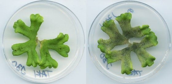 Above image: ​A healthy Marchantia polymorpha liverwort (left) and one that has been infected by Phytophthora palmivora (right).
