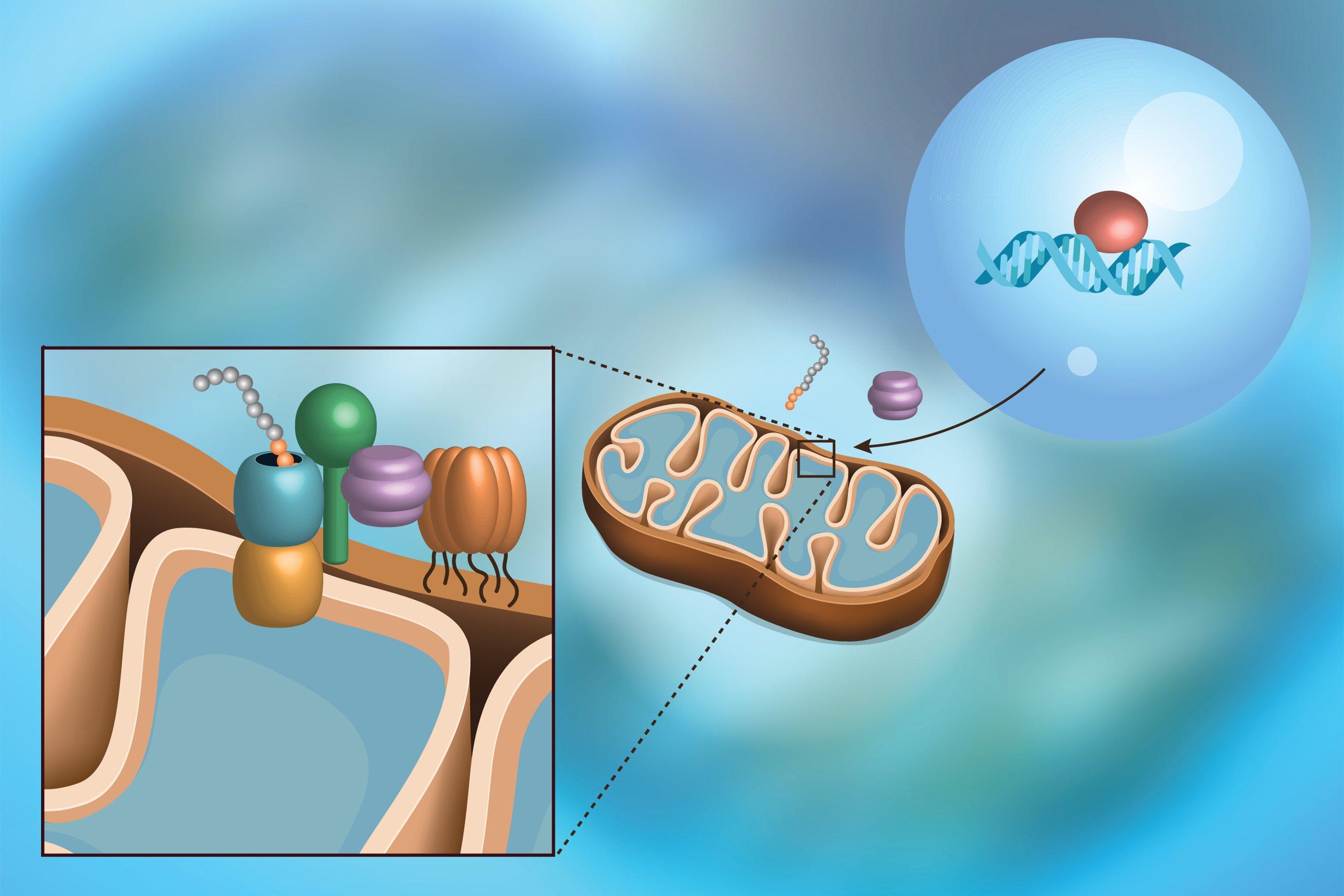 Countering The Stress Of Mitochondria Tech Explorist