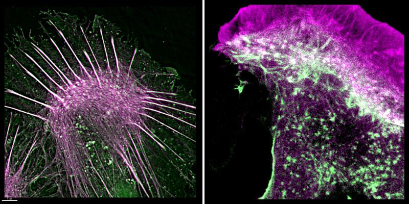 The above images show the green stained actin within cells, and the purple coloured affimer which has binded to it. The addition of the affimer to the actin inside the cell makes it much easier for scientists to study the cell's behaviour.