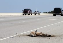 The battered remains of a roadkilled deer in South Carolina, US Image: Wikipedia