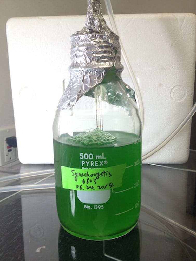 A flask of the cyanobacterium Synechocystis sp. PCC 6803 that was used to produce shinorine. The green color comes from the chlorophyll, which is a natural part of the bacterium. Shinorine is clear. Dr. Guang Yang, CC BY-NC-ND