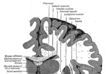 "Cross section of brain showing the dentate gyrus (""Gyrus dentatus"" at bottom center). Credit: Henry Gray, Anatomy of the Human Body (1918)."