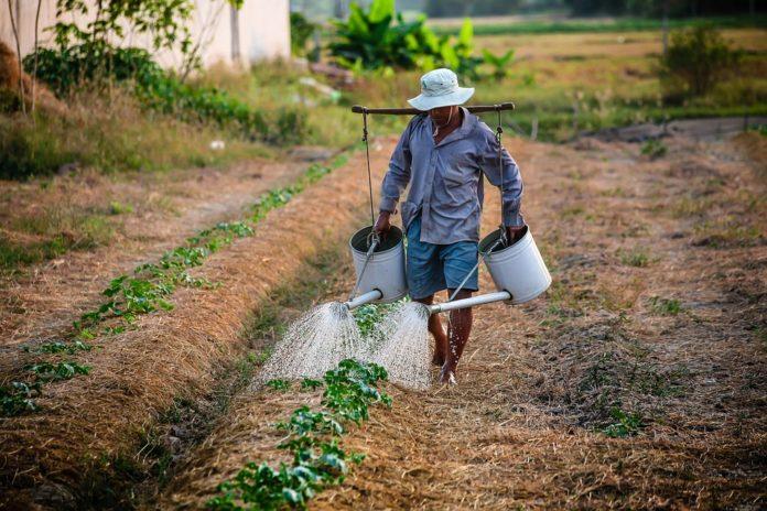 farmer, watering plants