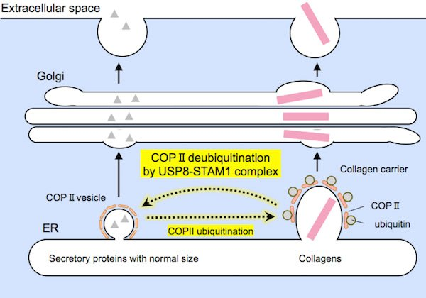 Representation of protein secretion Relatively small-sized proteins (on the left) and large collagens (on the right) are encapsulated by COPII carriers of suitable sizes prior to secretion. The USP8-STAM1 complex inhibits the formation of large collagen carriers.