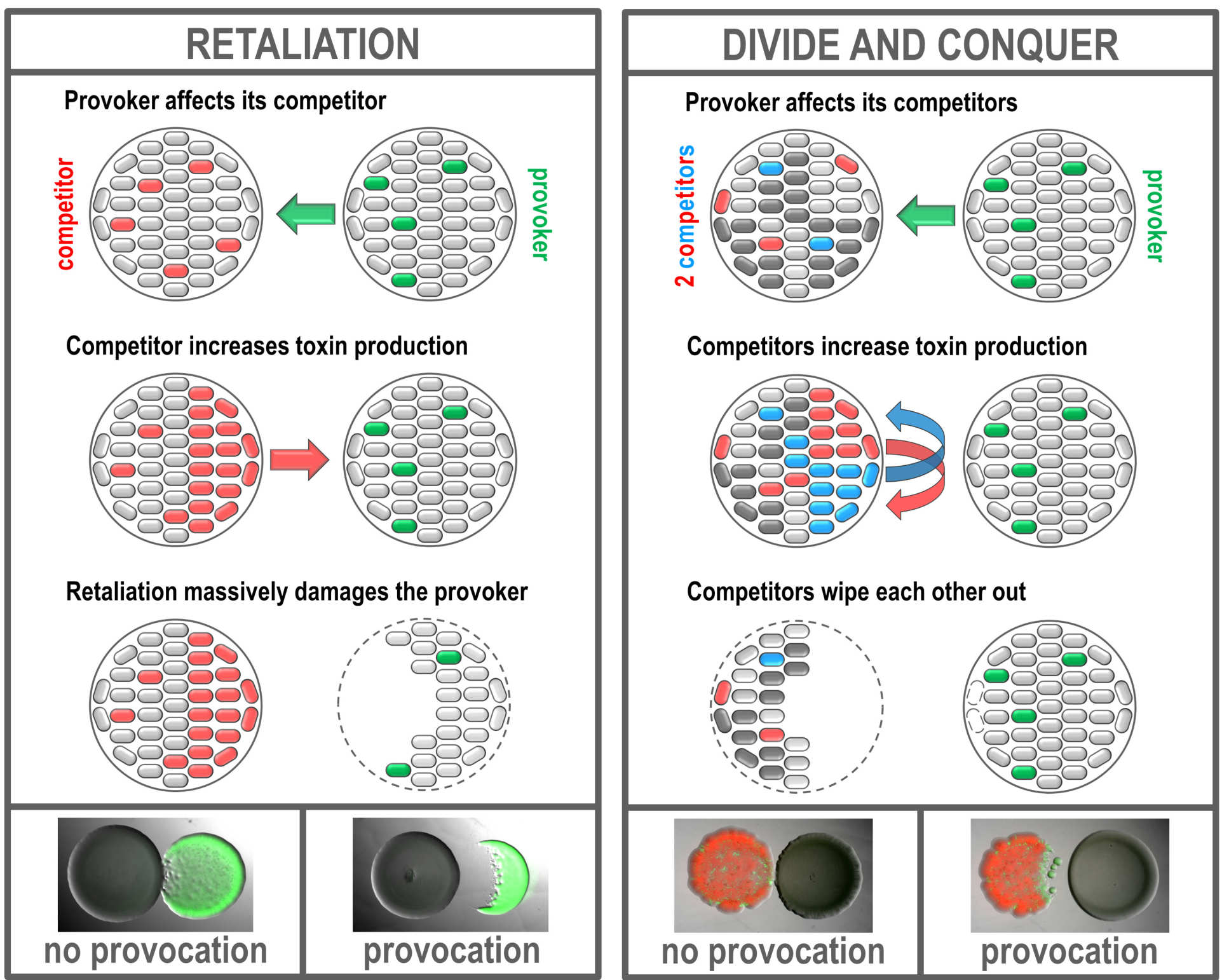 Divide and conquer: A provoking toxin producer (right) is sensed through its released toxin by its competitors (left); the competitors are closer to one another than to the provoking strain. Provocation leads to increase in aggression in the competing mixed colony, but in this case the produced toxins wipe out the two competing strains while affecting the provoker less. The panels at the bottom show the difference in outcome when a strain is non-provoking (unlabelled colony, left panel) or provoking (unlabelled colony, right panel) against the same set of competitors (red/green colony in both panels).