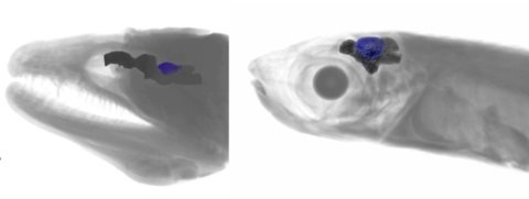Nocturnal fishes were found to have smaller optic tecta (relative to the rest of the brain) than those that are active during the day, even though their eyes are larger.  Credit:  TLI