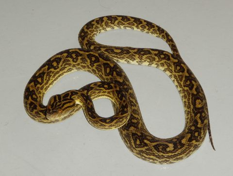 The Okinawan habu is endemic to the Ryukyu islands of Japan. It is the longest and the most venomous of the three habu species found in the region.  Credit:  Prof Hiroki Shibata
