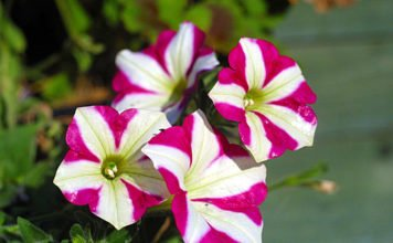 """The stigma of Petunia contains a toxin that stops pollen growth. Pollen in turn has a team of genes that produce antidotes to all toxins except for the toxin produced by the """"self"""" stigma. © Lewis Collard"""