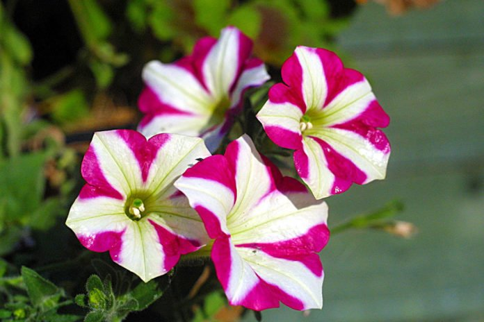 The stigma of Petunia contains a toxin that stops pollen growth. Pollen in turn has a team of genes that produce antidotes to all toxins except for the toxin produced by the