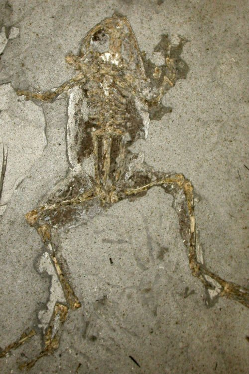 10 million-year-old frog from Libros, Spain, showing dark internal melanosomes in the chest cavity and legs. Museo Nacional de Ciencias Naturales, Madrid, Spain
