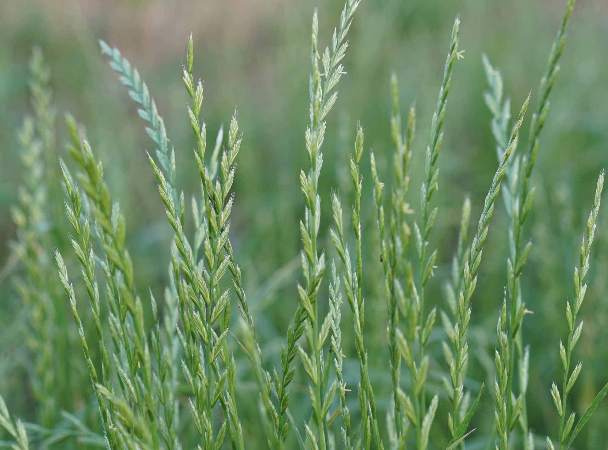 Researchers are developing immunotherapy treatments from protein fragments, or peptides, from rye grass (Lolium perenne). Image: Shutterstock / Doikanoi