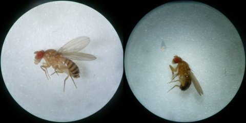 Fruit flies exhibit sexual dimorphism. Males are smaller, they have bristle on their forelegs, their abdomen is blunt, and their stripes meld together and become dark toward the back of the abdomen. Females are larger, and their abdomen is longer, pointed, and striped until the end. The sexes differ in many aspects. In this study, researchers reveal that male fruit flies respond to environmental temperatures differently than females that bear the same mtDNA variant.  Credit:  Dr. Zdenek Lajbner