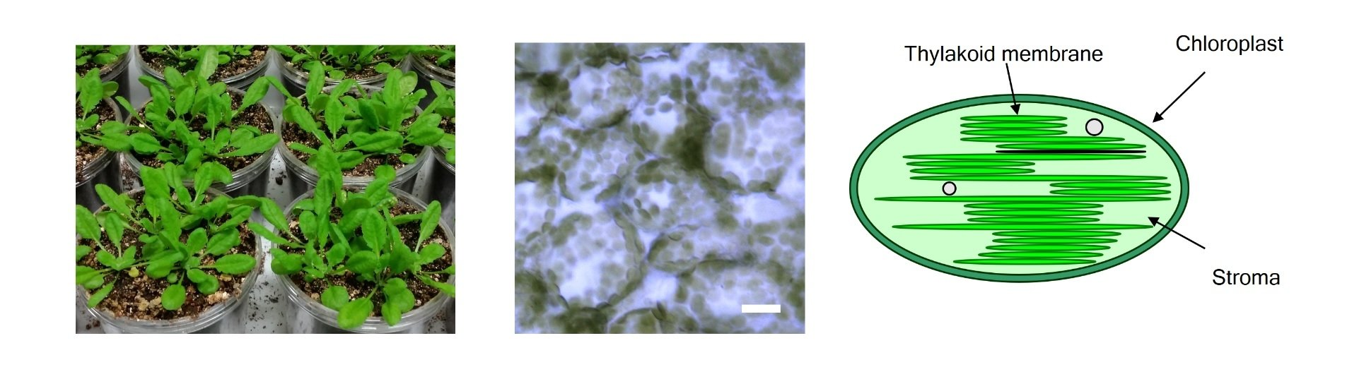 Epidermal cells of Arabidopsis leaves and schematic of chloroplasts Arabidopsis leaves (left), Epidermal cells (center, bar=20 μm) and schematic of chloroplasts (right). Chloroplasts, size from 3 to 10 μm, photosynthetic cell organelles in green leaves, capture light energy and use it to produce energy-rich molecules and to generate oxygen. They split water and use the electrons from these molecules on the process.