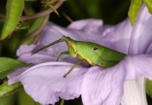 A Tagasta marginella grasshopper visiting the flower of a morning glory species Ipomoea cairica